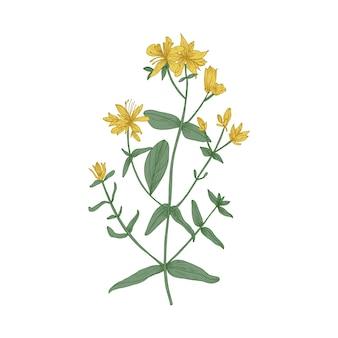 Wspaniałe kwitnące kwiaty dziurawca zwyczajnego, łodygi i liście na białym tle