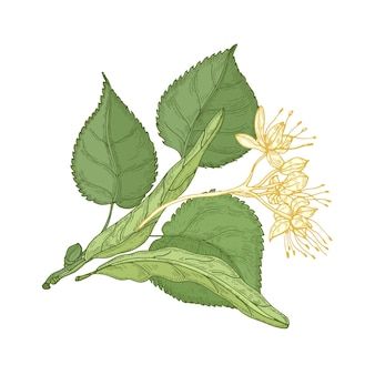 Wspaniały rysunek botaniczny gałązki lipy z liśćmi i delikatnymi kwitnącymi kwiatami.