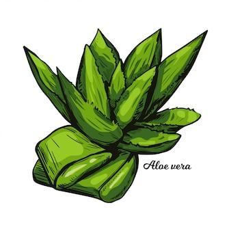 Wyciągnąć rękę na białym tle zioło lecznicze aloesu. soczyste gatunki roślin aloesu, zimozielone byliny. cięte i całe liście rośliny z wewnętrznym żelem stosowanym w kosmetyce i medycynie.