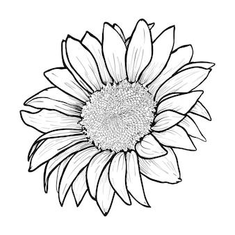 Wyciągnąć rękę słonecznika. kwitnący kwiat zbliżenie szkic piórem atramentowym. zarys kwiat czarno-biały rysunek. kwiatowy, botaniczny element projektu grawerowania - ilustracji wektorowych