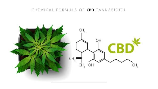 Wzór chemiczny kannabidiolu cbd i rośliny konopi rośnie w kwadratowej doniczce, widok z góry.