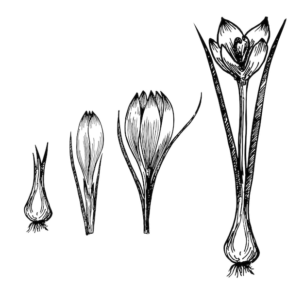 Wzrost roślin kwiatowych na białym tle