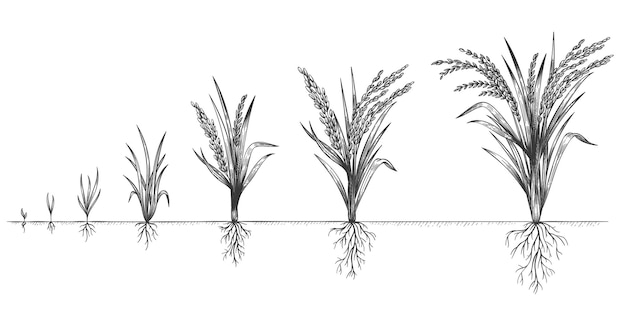 Wzrost ryżu. cykl wzrostu roślin. naszkicuj etapy życia zbóż na farmie. ręcznie rysowane kłoski w glebie. ziarna zwiększają koncepcję wektora kroków. okresy i fazy dojrzewania, uprawa