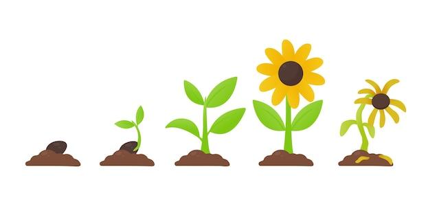 Wzrost. sadzenie kwiatu, który wyrósł z nasion, staje się sadzonką z kwiatami i umiera.
