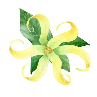 Ylang. ręcznie malowane liście i kwiaty ylang na białym tle.