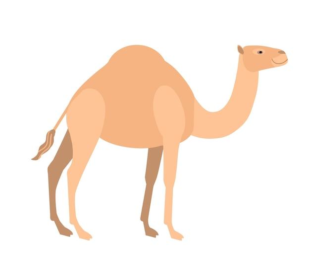 Zabawny ładny wielbłąd dromader na białym tle. dziki inteligentny azjatycki roślinożerny ssak kopytny, pustynne zwierzę robocze. fauna azji. ilustracja wektorowa kolorowe w stylu cartoon płaskie.