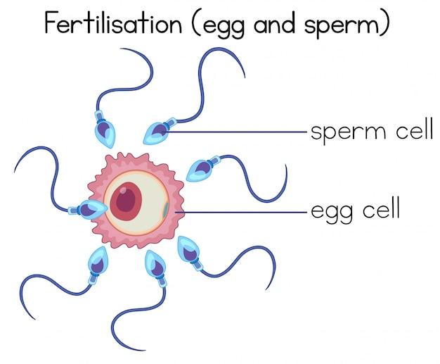 Zapłodnienie komórki jajowej i diagram plemników