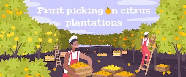 Zbieranie owoców na płaskiej ilustracji plantacji cytrusów z dwoma młodymi mężczyznami pracującymi z wykorzystaniem drabin