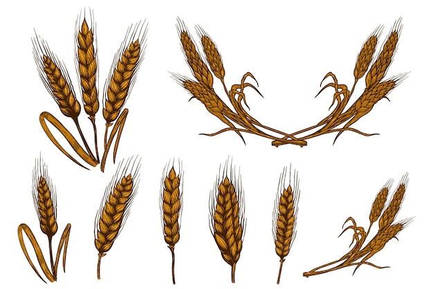 Zbiór ilustracji kłosek pszenicy na białym tle. element projektu plakatu, karty, godła, znaku, karty, banera. wizerunek