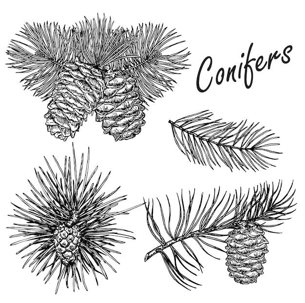 Zbiór ilustracji roślin iglastych. zestaw szkiców rocznika wiecznie zielonych roślin. elementy dekoracji świątecznych.