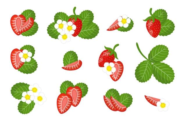 Zbiór ilustracji z dzikich truskawek egzotycznych owoców, kwiatów i liści na białym tle