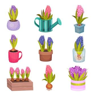 Zbiór kwiatów hiacyntu w różnych kolorach.