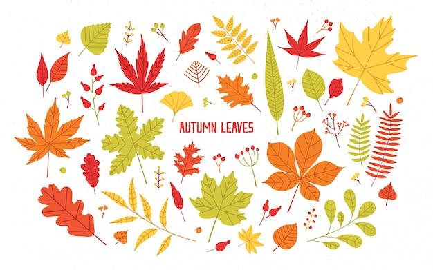 Zbiór różnych kolorowych liści jesienią na białym tle - dąb, klon, jarzębina, brzoza. piękna sezonowa dekoracja naturalna. ilustracja botaniczna w stylu cartoon płaski.