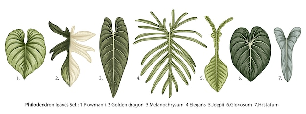 Zbiór tropikalnych liści filodendron na białym tle