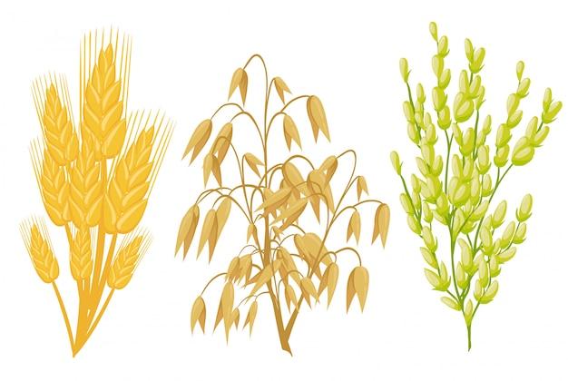 Zboża ikony roślin zbożowych. kłosy pszenne i żytnie, nasiona gryki i proso owsiane lub jęczmienne i snop ryżowy. rolnictwo kolby kukurydzy i fasola strączkowa lub strąki zielonego groszku zbiory upraw rolnych.