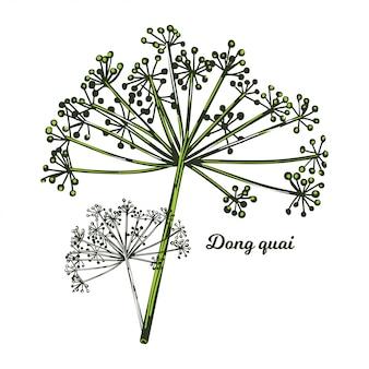 Żeński żeń-szeń dong quai angelica sinensis zioło należące do rodziny apiaceae