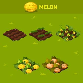 Zestaw 6. izometryczny etap wzrostu melon