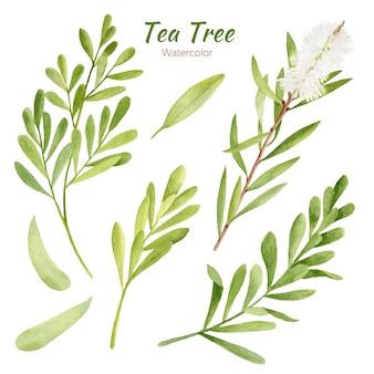 Zestaw akwarela drzewa herbacianego liście i gałęzie
