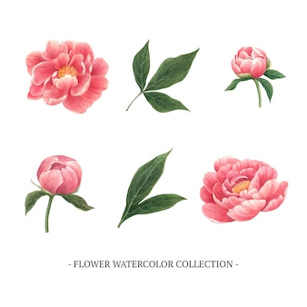 Zestaw akwarela piwonii, ręcznie rysowane ilustracji elementów na białym tle biały.