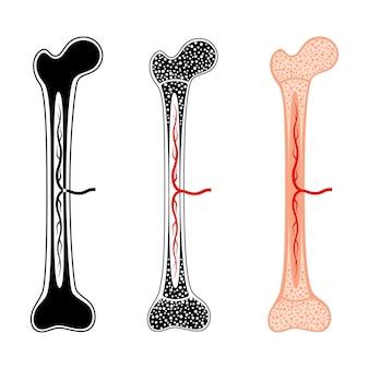 Zestaw anatomicznych logo szpiku kostnego. struktura kości człowieka. badania i testy laboratoryjne