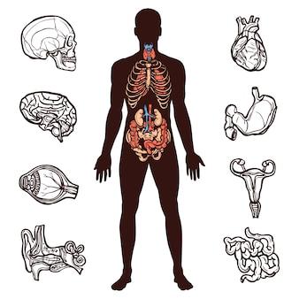 Zestaw anatomii człowieka