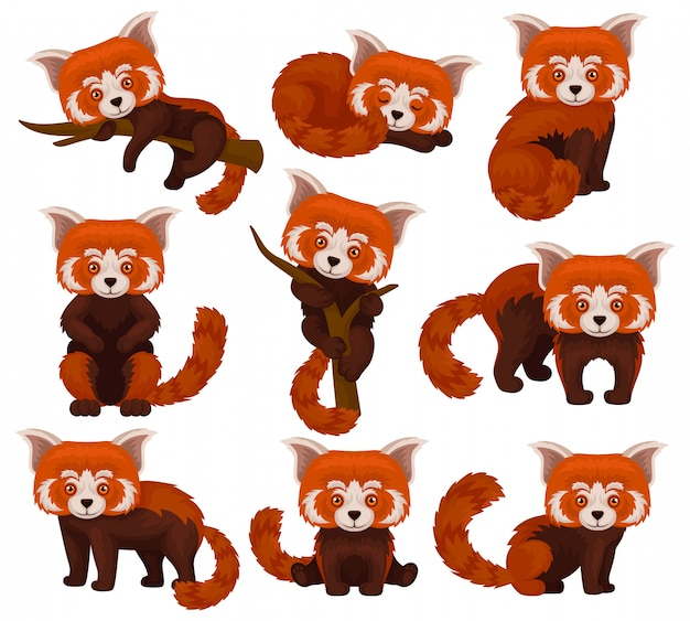 Zestaw chińskiej czerwonej pandy, słodkie puszyste dzikie zwierzęta w różnych pozach ilustracja na białym tle