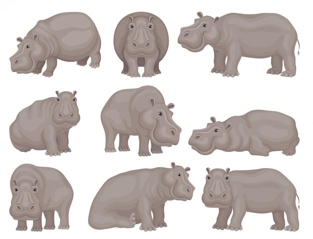 Zestaw dużego szarego hipopotama w różnych akcjach. afrykańskie zwierzę dzikie stworzenie. motyw przyrody. projekt