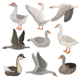 Zestaw dużych gęsi w różnych działaniach. ptaki dzikie i hodowlane. zwierzę wiejskie. motyw przyrody