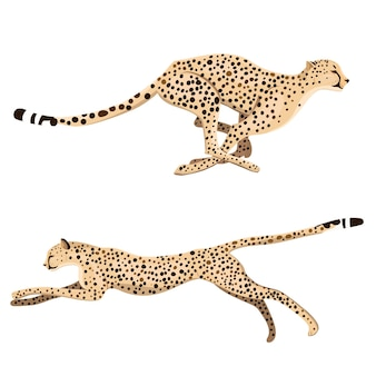 Zestaw dwóch działających gepardów na białym tle.