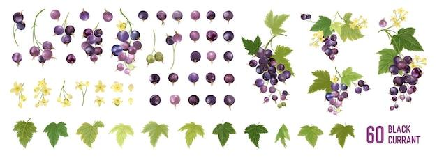 Zestaw elementów akwarela czarnej porzeczki. na białym tle zbiór jagód, owoców, liści na białym. elementy botaniczne do projektowania, okładki, kartek ślubnych, zaproszenia na przyjęcie, tła