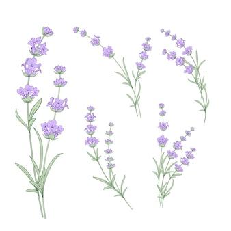 Zestaw elementów kwiatów lawendy.