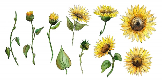 Zestaw elementów kwiaty, pąki, łodygi słonecznikowej grafiki akwarela na białym tle