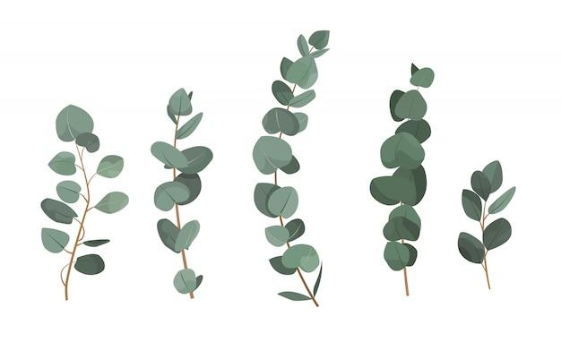 Zestaw gałęzi eukaliptusa na białym tle.