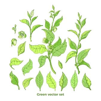 Zestaw gałęzi przyrody. krzew zielonej herbaty. kolekcja ekologiczna