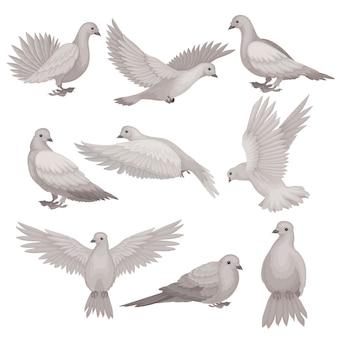 Zestaw gołąb w różnych pozach. ptak z małą głową, krótkimi nogami i szarymi piórami.