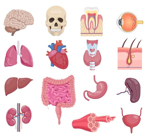 Zestaw ikon narządów wewnętrznych anatomii człowieka