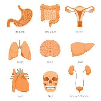 Zestaw ikon obiektów ludzkich narządów wewnętrznych