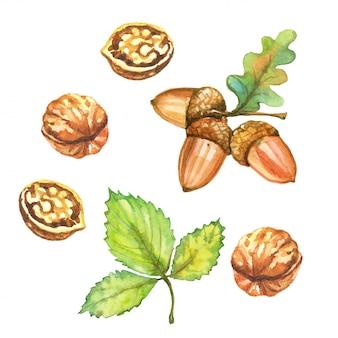 Zestaw ilustracji akwarela jesień. orzechy włoskie i żołędzie