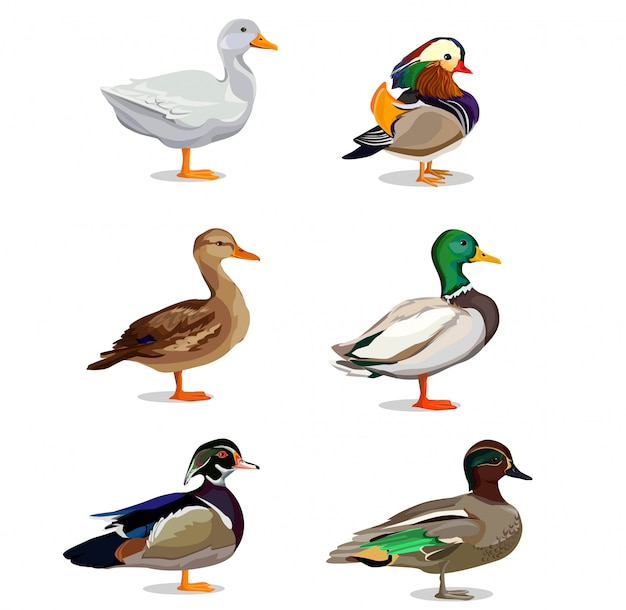 Zestaw ilustracji kaczka.