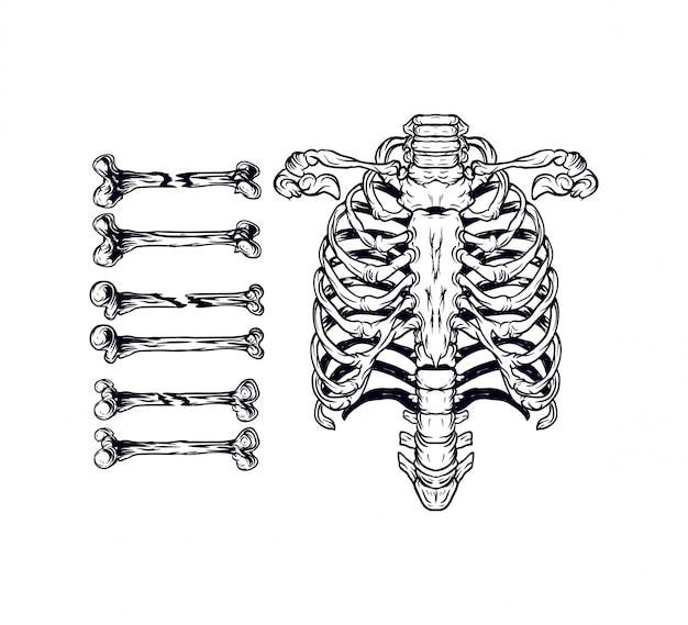 Zestaw ilustracji kości