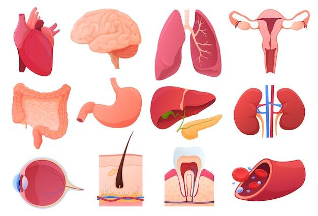 Zestaw ilustracji narządów wewnętrznych człowieka