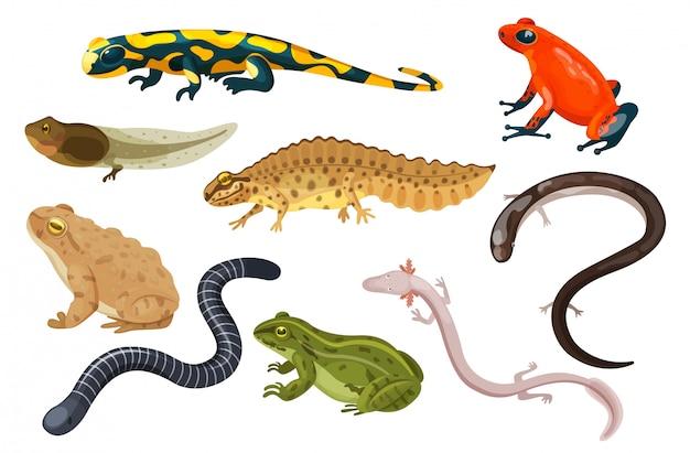 Zestaw ilustracji płazów, ropucha tropikalna kreskówka siedzi i kijanka żaba, salamandra, ikony tryton na białym tle
