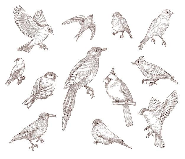 Zestaw ilustracji szkiców grawerowanych gatunków ptaków