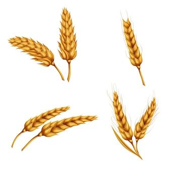 Zestaw ilustracji wektorowych pszenicy spikelets, ziarna, koła pszenicy samodzielnie na białym tle.