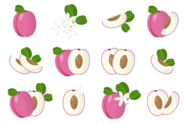 Zestaw ilustracji z egzotycznymi owocami, kwiatami i liśćmi icaco na białym tle