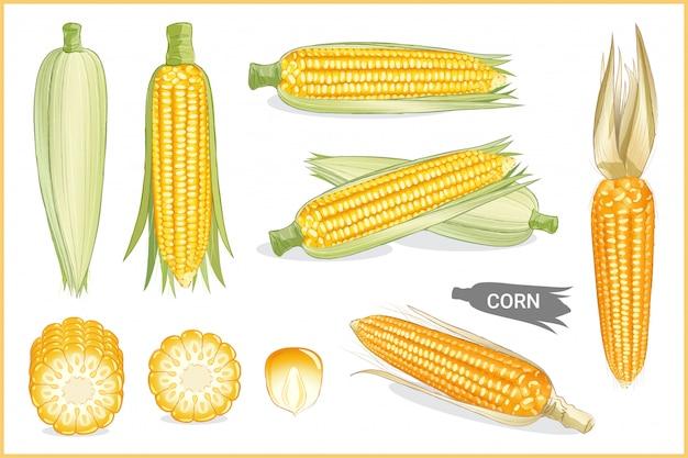 Zestaw ilustracji żółta kukurydza cukrowa