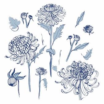 Zestaw japońskiej chryzantemy. kolekcja z ręcznie rysowane pąki, kwiaty, liście. ilustracja w stylu vintage.