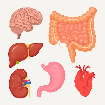 Zestaw jelit, jelit, żołądka, wątroby, mózgu, serca, nerek. narządy ludzkie