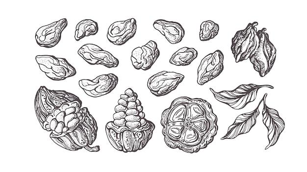 Zestaw kakao wyciągnąć rękę. składnik czekolady. szkic botaniczny fasoli, owoców, liści