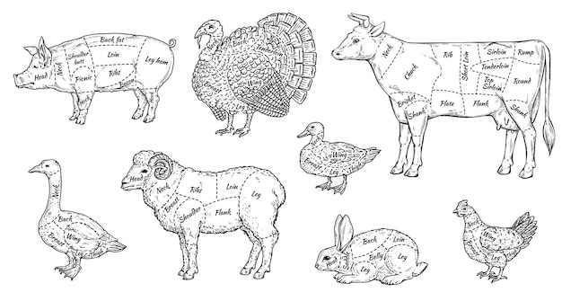 Zestaw kawałków mięsa zwierzęcego - przewodnik rzeźnika po różnych częściach ciał zwierząt hodowlanych do menu żywności.